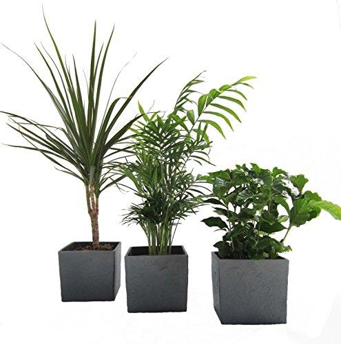 African-Set, Dracena Marginata, Kaffee-Pflanze + Zimmerpalme + Scheurich Würfeltopf anthrazit-stone, ca. 14x14x14cm, 3 Pflanzen + 3 Töpfe