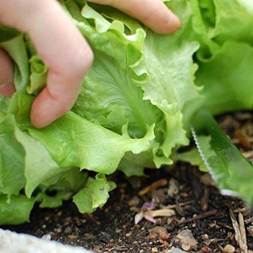 Lattuga verde ricciolina da taglio (Semente)