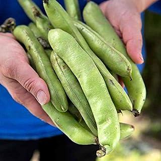 Bean Aquadulce 15 Seeds Heirloom Vegetable Garden Broad Cool Season Bush Autumn