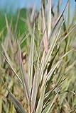Buntlaubiger-Gebänderter Wasserschwaden - Riesensüßgras / Glyceria maxima 'Variegata' im 9x9 cm Topf