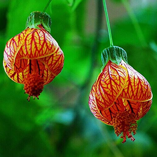 100 Stück Abutilon Pictum Blumensamen...