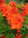 kupferrot blühende Garten Azalee Rhododendron luteum Gibraltar 30 - 40