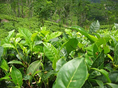 Asklepios-seeds® - 25 Samen Camellia sinensis, Teestrauch, Teepflanze, echter grüner/Schwarzer Tee