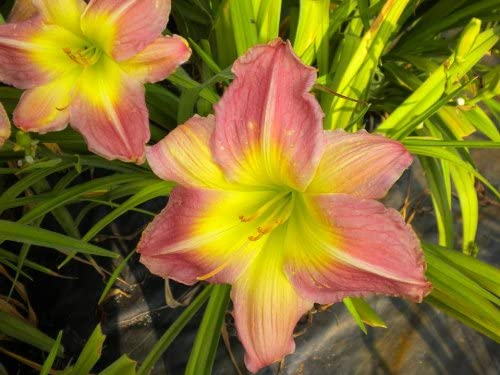 5 Fans Daveo Max Fees free!! 57% OFF Holman April 2015 Daylily Available