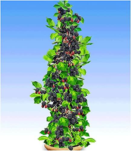 BALDUR Garten Säulen-Brombeeren Navaho® 'Big&Early' dornenlos, 1 Pflanze Rubus fruticosa Säulenobst Beerenobst Brombeerpflanze