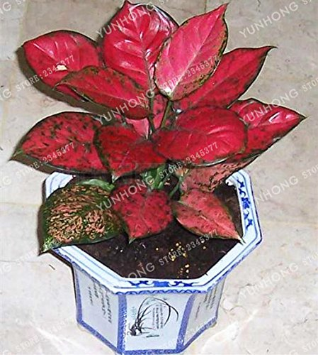 Rose: Svi New 50 Pcs Aglaonema Graines de plantes pour facile à cultiver rose
