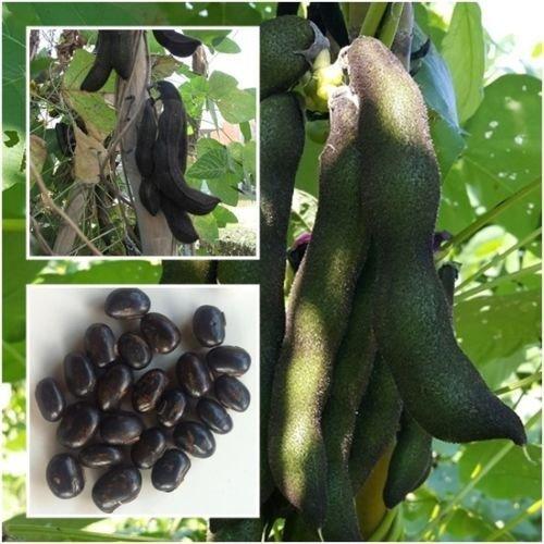 Nouveau!!!! Graines Mucuna pruriens 10 graines, haricots Velvet, Rare Unique De Thaïlande +
