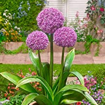 Allium Party Balloons - 6 Pack of Bulbs to Plant - Huge Round Purple Flowers Look Like Balloons