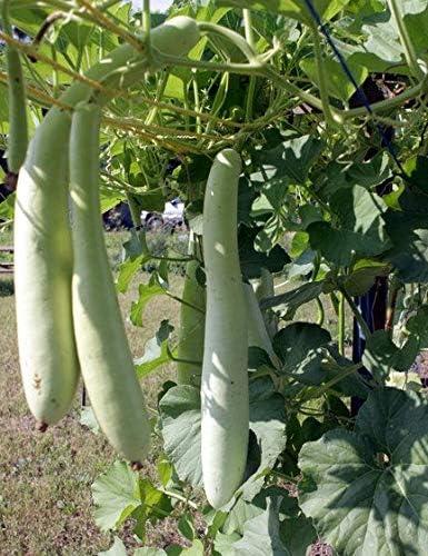 1 Ranking TOP9 OZ Max 70% OFF Seeds of CUCUZZI CUCUZZA Sicilia; GAGOOTZA; Serpente di Ser