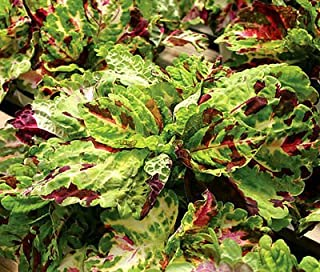 COLEUS KONG MOSAIC Solenostemon Scutellarioides - 40 Bulk Seeds