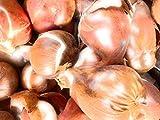 30 x <span class='highlight'>Tulip</span> (Creamy Yellow) Bulbs Ready to Plant (Free UK Postage)
