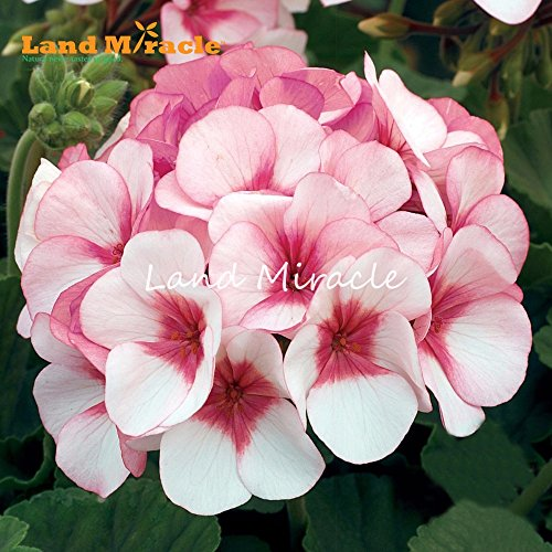 Deux couleurs Rouge Blanc 5PCS Graines rares Géranium, Rose Pelargonium Fleurs vivaces Jardin Bonsai plantes en pot de fleurs