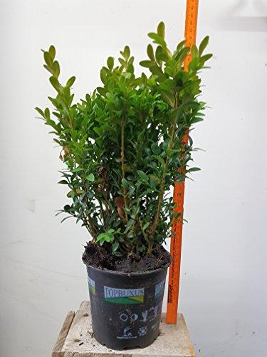 50 articoli Piante da siepe bosso (Buxus sempervirens), alta 15cm, dimensioni del piatto: 9cm, sempreverdi