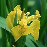 Gelbe Wasserschwertlilie/Iris pseudacorus 9x9 cm Topf - Klärpflanze Gartenteich