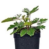 Mimosa pudica, Fairy Sensitive Plant, 3' (2.6x3.5')