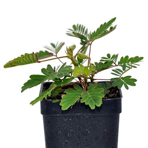 "Mimosa pudica, Fairy Sensitive Plant, 3"" (2.6x3.5"")"