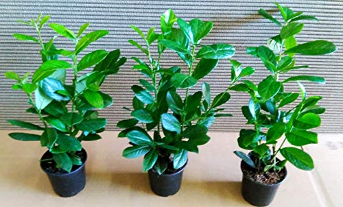 40 Kirschlorbeer, Prunus Novita, Höhe: 40-50 cm ab Topf, buschig !