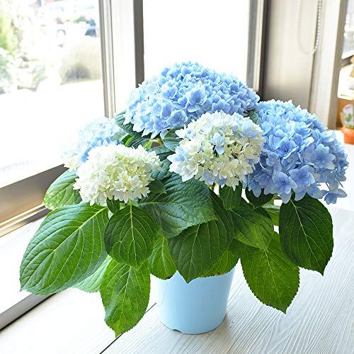 相武ガーデン 鉢花 おまかせブルー系アジサイ 5寸プラスチック鉢 花 ギフト 母の日 贈り物 プレゼント 母の日のプレゼント