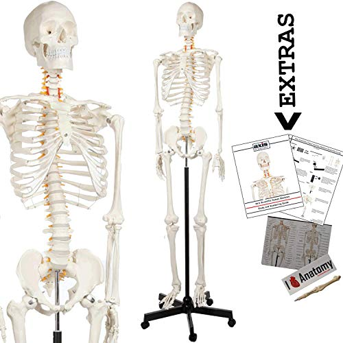 """Axis Scientific Human Skeleton Model Anatomy Bundle, 5' 6"""" Life Size Skeletal System, 206 Bones, Interactive Medical Replica 3 Year Warranty, Study Guide, Adjustable Rolling Stand, and Dust Cover"""