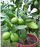 Dichondra 70pcs Tropical Key Lime Citrus aurantifolia Tree Seeds