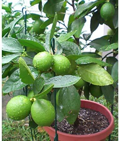 zumari 70pcs Tropical Key Lime Citrus aurantifolia semillas de árboles