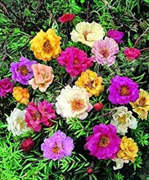 50+ DOUBLE MOSS ROSE