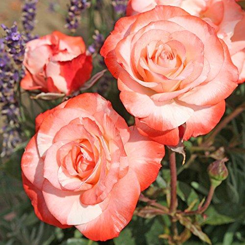Kordes Rosen Auf die Freundschaft Strauchrose, weiß mit rotem rand, 12 x 12 x 40 cm