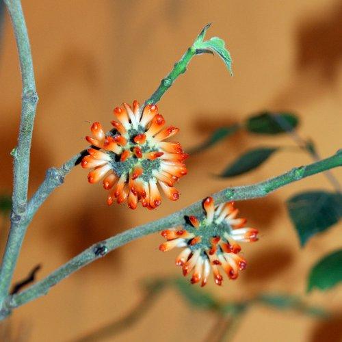 Papiermaulbeerbaum Broussonetia papyrfera 100 Samen