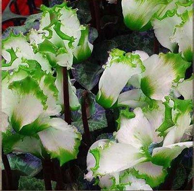 Vente chaude arc-en-Cyclamen Graines de fleurs vivaces Floraison intérieur Bonsai Plante en pot pour Pot de fleurs Planters120 PCS 6