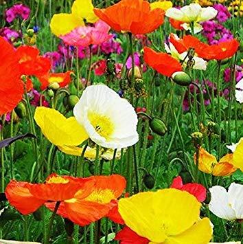 BloomGreen Co. Blumensamen: Papaver (Islandmohn) -Mixed Blumen pflanzt Garten Samen für Pflanzen (4 Pakete) Gartenpflanzensamen