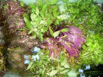 Le piante acquatiche 1mazzetto Acquario Piante ca. 6–7PZ