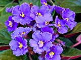 50pcs Violet Seeds African Violet Plants Seeds Indoor Balcony Flowers Plant for Home Easy to Growing Flower Plant