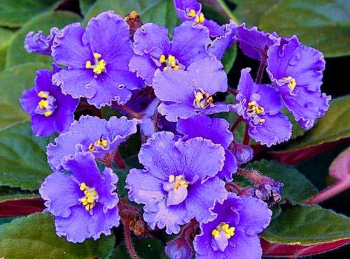 50pcs Violet Seeds African Violet Plants...