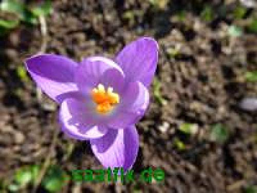 50 Blumenzwiebeln Krokuszwiebeln Elfenkrokus Crocus tommasinianus - DER ECHTE (Dalmatinischer Krokus)