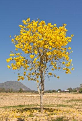 Tabebuia argentea Tree of Gold Trompetenbaum 5 Samen