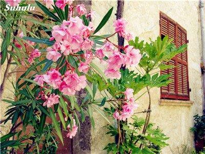 100 Pcs rares Nerium Graines Oleander Plantation Saisons de fleurs en pot Plantes culture facile Chine Graines Balcon Jardin Décoration 13