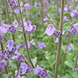 Blumixx Stauden Nepeta x faassenii 'Walkers Low' - Katzenminze, im 0,5 Liter Topf, violettblau blühend