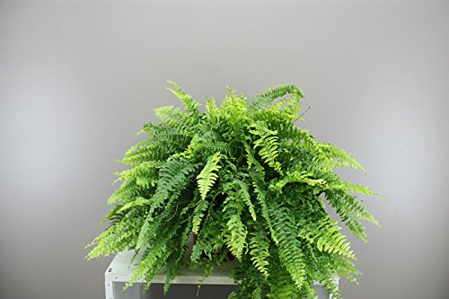 Gran Boston fern- Beautiful verde moderno fern- ideal regalo para Navidad–Nephrolepis Bostoniensis