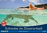 Schweine im Dauerurlaub auf den Bahamas! (Wandkalender 2020 DIN A3 quer)