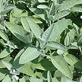 Salbei - Salvia officinalis - Kräuterpflanze