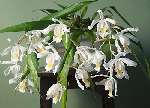 Fangblatt - Coelogyne cristata - Engelsorchidee mit weißen Blüten - traumhafte Orchidee für Ihr Zuhause