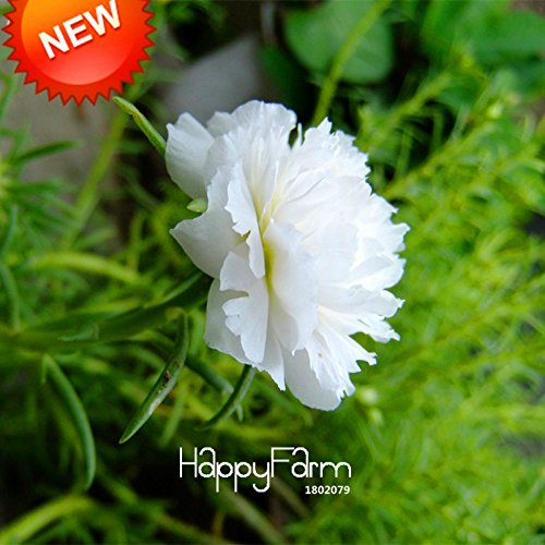 Nouvelles Graines fraîches 200 Pcs / lot Blanc Portulaca Seed Flower Garden pot Bonsai Plantes Fleur Pourpier Graines Scutellaria Barbata, # K