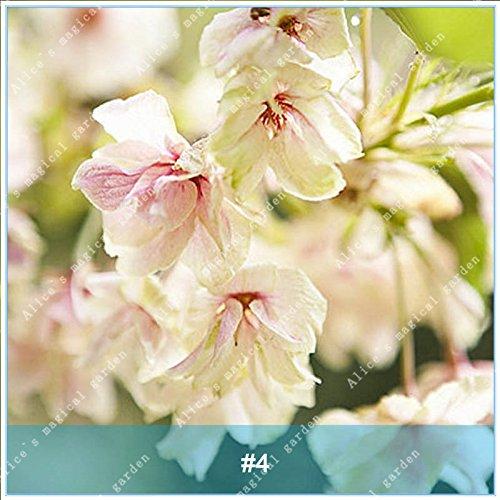 ZLKING 20pcs/pack Arbre Sakura Fleurs japonais Bonsai Graines Cerasus yedoensis fleurs de cerisier facile de cultiver des plantes de fleurs exotiques 4