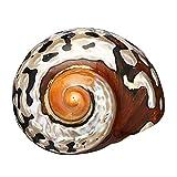 Nrpfell 6-9.5Cm Turbante fricano Natural Concha de Mar Coral Concha DecoracióN del cuario de Caracol 1 Unids