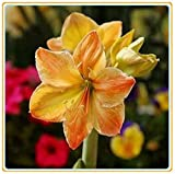 Amaryllis Bulbs-Rare green flowers, wonderful decorations and air-purifying plants, romantic floral gifts for Valentine's Day-Orange,1 Zwiebeln