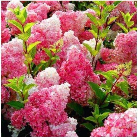 AIMADO Samen 20 stücke Gartenhortensie winterhart mehrjährig Blumensamen bunt Hortensie Samen Freiland-Hortensie für Balkon, Garten