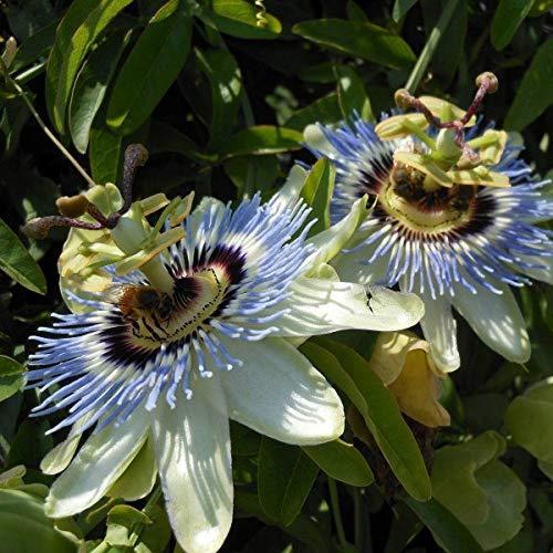 Blue Passion Flower (Passiflora Caerulea) 40 Seeds
