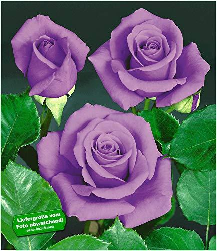 BALDUR Garten Rose Blue Saphir, 1 Pflanze Beetrose winterhart