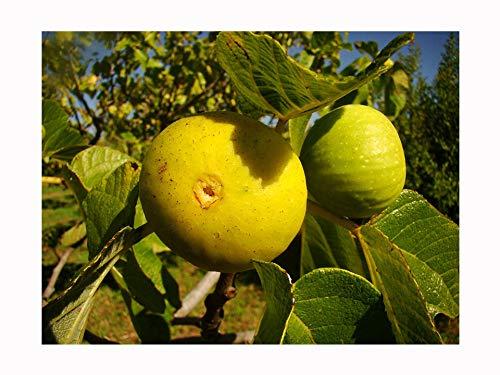 Feigenbaum FICUS CARICA 'Pedro' – gelbe Haut – cremiges Fleisch, tropfenförmig fruchtbare Sorte, sehr kälteverträglich, architektonische Pflanze und leckere Früchte wachsen Ihre eigene Feige, mediterranes Obst, 10-15cm