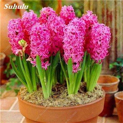 Livraison gratuite Parfum Pas Cher Graines jacinthe, plantes en pot purifient l'air, PC de bureau Décor-100 Pcs Hyacinthus Orientalis Seed 4